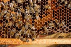 Ciérrese encima de la vista de las abejas de trabajo y del polen recogido en ho Imagenes de archivo