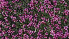 Ciérrese encima de la vista de las flores rosadas de la montaña en las montañas Naturaleza pura Belleza de la naturaleza Flores f almacen de metraje de vídeo