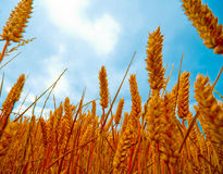 Ciérrese encima de la vista de wheatfields Fotos de archivo libres de regalías