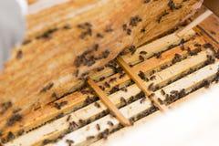 Ciérrese encima de la vista del cuerpo abierto de la colmena que muestra los marcos poblados por las abejas de la miel Foto de archivo libre de regalías
