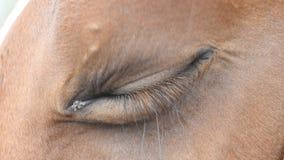 Ciérrese encima de la vista del ojo de un caballo marrón hermoso Centelleo equino del ojo almacen de metraje de vídeo