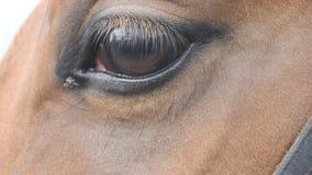 Ciérrese encima de la vista del ojo de un caballo marrón hermoso Centelleo equino del ojo almacen de video