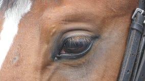 Ciérrese encima de la vista del ojo de un caballo marrón hermoso Centelleo equino del ojo Cámara lenta metrajes