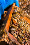 Ciérrese encima de la vista del peine con la reina joven de la abeja Ciérrese encima de mostrar Foto de archivo