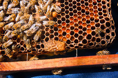 Ciérrese encima de la vista del peine con la reina joven de la abeja Ciérrese encima de mostrar Imagen de archivo libre de regalías