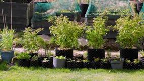 Ciérrese encima de la vista de los arbustos de frambuesa verdes en potes plásticos almacen de video