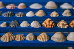 Ciérrese encima de la vista de muchas diversas conchas marinas en fondo de madera azul Colección del Seashell fotos de archivo