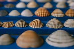 Ciérrese encima de la vista de muchas diversas conchas marinas en fondo de madera azul Colección del Seashell foto de archivo