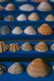 Ciérrese encima de la vista de muchas diversas conchas marinas en fondo de madera azul Colección del Seashell imagen de archivo