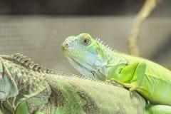 Ciérrese encima de lagarto Imagen de archivo