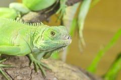 Ciérrese encima de lagarto Imagen de archivo libre de regalías