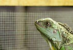 Ciérrese encima de lagarto Imagenes de archivo