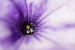 Ciérrese encima de lanzamiento de la flor colorida de la petunia Foto de archivo