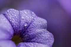 Ciérrese encima de lanzamiento de la flor colorida de la petunia Fotos de archivo