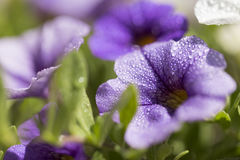 Ciérrese encima de lanzamiento de la flor colorida de la petunia Imagen de archivo libre de regalías