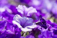 Ciérrese encima de lanzamiento de la flor colorida de la petunia Imagen de archivo