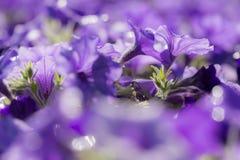 Ciérrese encima de lanzamiento de la flor colorida de la petunia Foto de archivo libre de regalías
