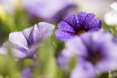 Ciérrese encima de lanzamiento de la flor colorida de la petunia Fotografía de archivo libre de regalías