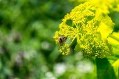 Ciérrese encima de lanzamiento de una abeja Imagen de archivo