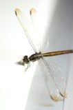 Ciérrese encima de lanzamiento de una libélula del anisoptera imagenes de archivo