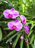 Ciérrese encima de lanzamiento de la orquídea púrpura imagenes de archivo