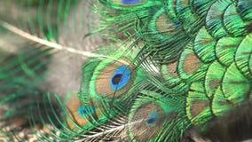 Ciérrese encima de lanzamiento de una fan hermosa del ` s del pavo real almacen de metraje de vídeo