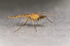 Ciérrese encima de las antenas grandes del mosquito Foto de archivo