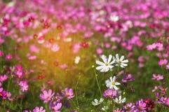 Ciérrese encima de las flores blancas y rosadas coloridas del cosmos que florecen en el campo con el cielo azul Fotografía de archivo