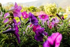 Ciérrese encima de las flores coloridas de la petunia foto de archivo