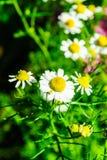 Ciérrese encima de las flores de la manzanilla Fotos de archivo libres de regalías