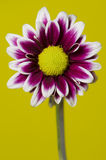 Ciérrese encima de las flores del crisantemo Fotografía de archivo