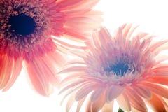 Ciérrese encima de las flores del gerber Imágenes de archivo libres de regalías