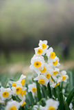 Ciérrese encima de las flores del narciso Fotos de archivo libres de regalías