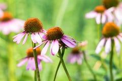 Ciérrese encima de las flores del purpurea del Echinacea Fotos de archivo