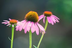 Ciérrese encima de las flores del purpurea del Echinacea Foto de archivo