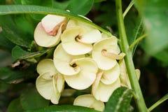 ciérrese encima de las flores frescas del Poi Sian del blanco del frem completo imágenes de archivo libres de regalías