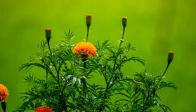 Ciérrese encima de las flores de la maravilla, el crecer de flores tropical en el fondo orgánico del campo del arroz y de las hoj imagen de archivo libre de regalías