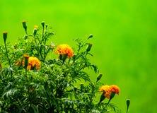Ciérrese encima de las flores de la maravilla, el crecer de flores tropical en el jardín orgánico en el campo de Tailandia fotografía de archivo