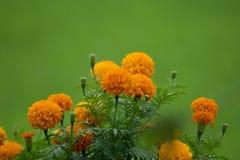 Ciérrese encima de las flores de la maravilla, el crecer de flores tropical en las miradas orgánicas del campo del arroz y del fo imagen de archivo
