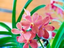 Ciérrese encima de las flores de la orquídea del rosa de la floración en fondo natural del jardín Foto de archivo