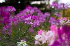 Ciérrese encima de las flores púrpuras fotografía de archivo