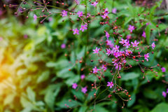 Ciérrese encima de las flores púrpuras salvajes en fondo verde Imagen de archivo libre de regalías