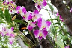 Ciérrese encima de las flores púrpuras y rosadas hermosas de la orquídea Fotografía de archivo