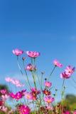 Ciérrese encima de las flores rosadas coloridas del cosmos que florecen en el campo con el cielo azul Fotografía de archivo libre de regalías