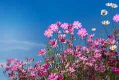 Ciérrese encima de las flores rosadas y blancas coloridas del cosmos que florecen en el campo con el cielo azul Imagenes de archivo