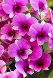 Ciérrese encima de las flores rosadas y púrpuras de la orquídea Imagenes de archivo