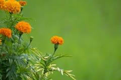 Ciérrese encima de las flores tropicales, de crecer de flores de la maravilla en el campo orgánico del arroz y de fondo verde imagen de archivo