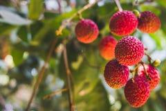 Ciérrese encima de las frutas maduras del lichi en el árbol en la plantación, Tailandia fotos de archivo