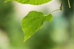 Ciérrese encima de las hojas mojadas del tilo después de lluvia Imagen de archivo libre de regalías