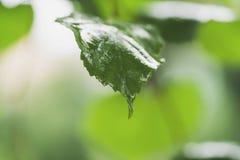 Ciérrese encima de las hojas mojadas del tilo después de lluvia Foto de archivo